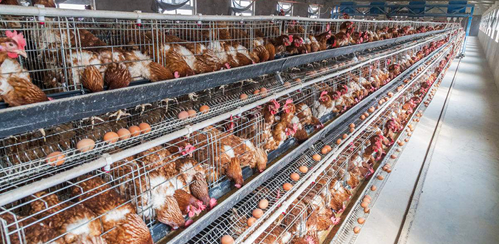 What are the main equipment for laying hens?